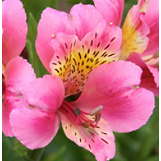 Alstroemeria Pink Magic