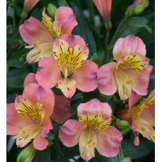 Alstroemeria Summer Relieve