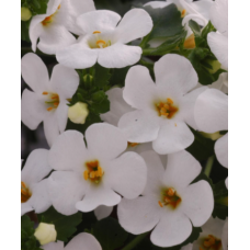 Bacopa Abunda Colossal White