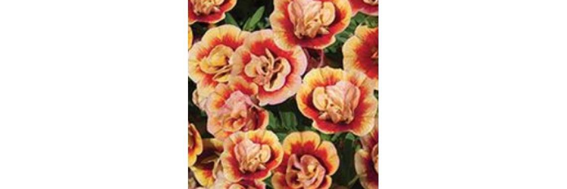 Calibrachoa Can-Can Double Orange Tastic
