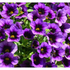Calibrachoa Can-Can Blueberry Punch