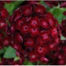 Dianthus Dash Crimson