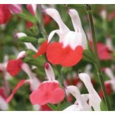 Salvia - Hot Lips