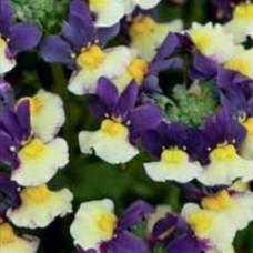 Nemesia Aroma Plums & Custard
