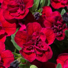 Calibrachoa Can-Can Double Red