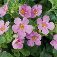 Bacopa Scopia Great Pink Beauty