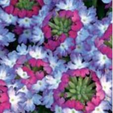 Verbena Sparkle Purple Blues