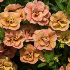 Calibrachoa Can-Can Double Apricot