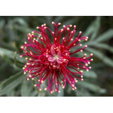 Grevillea - Canberra Gem (Spider Flower)