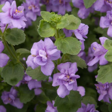 Bacopa Scopia Double Ballerina Indigo Blue