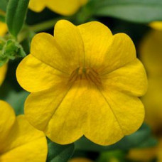 Calibrachoa Cabaret Deep Yellow