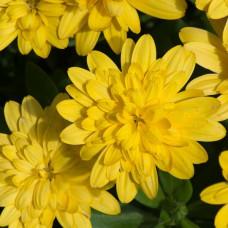 Osteospermum 3D Double Yellow