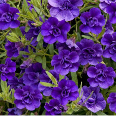 Calibrachoa Can-Can Double Blue