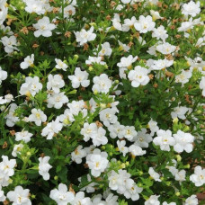 Bacopa Scopia Double Ballerina Snowball