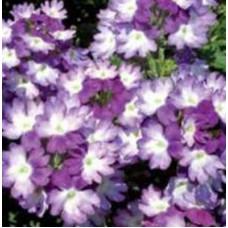 Verbena Sparkle Dark Violet
