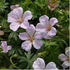 Geranium Cranesbill Pouffe Pink