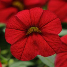 Calibrachoa Cabaret Bright Red