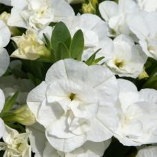 Calibrachoa Can-Can Double White