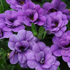 Calibrachoa Can-Can Double Provence Blue