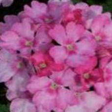 Verbena Showboat Pink