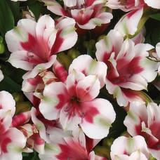 Alstroemeria Inticancha Maya