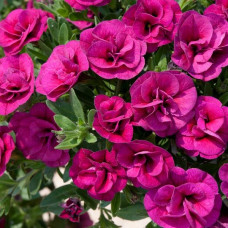 Calibrachoa Can-Can Double Magenta