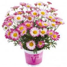 Argyranthemum Aramis Bicolour Rose