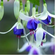 Fuchsia Hardy - Delta's Sarah