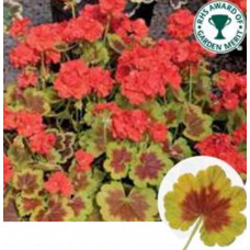 Geranium Occold Shield