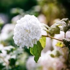 Viburnum Opulus Roseum (Snowball Tree)