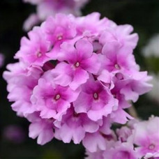 Verbena EnduraScape Pink Bicolor