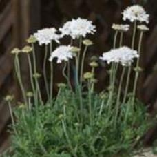 Scabiosa - Flutter Pure White