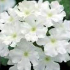 Verbena Showboat White