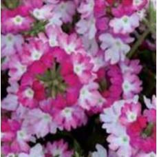 Verbena Sparkle Dark Pink
