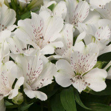 Alstroemeria Inicancha White Magic
