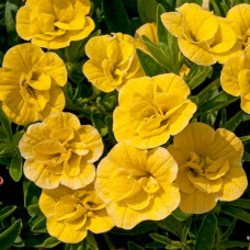 Calibrachoa Can-Can Double Dark Yellow