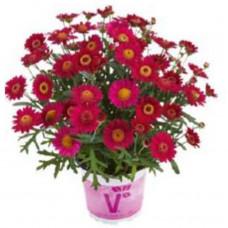 Argyranthemum Aramis Velvet Red