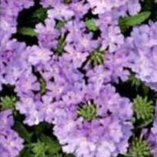 Verbena Showboat Lavender
