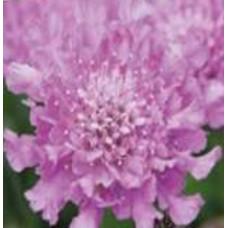 Scabiosa - Flutter Rose Pink