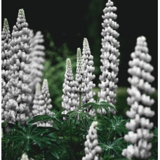Lupin Gallery White