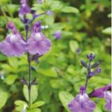 Salvia Javier