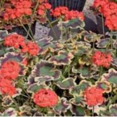 Geranium Mrs Pollock
