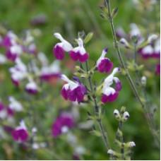 Salvia Amethyst Lips greggii