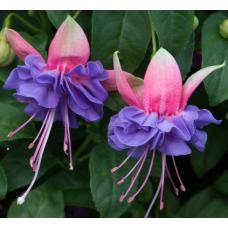 Fuchsia Cecile