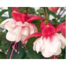 Hanging Basket Fuchsia Swingtime