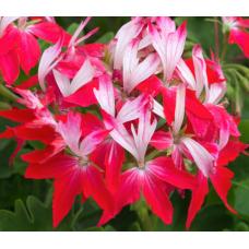 Geranium Summer Twist Red & White