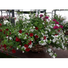 Hanging Basket Mixed No 2