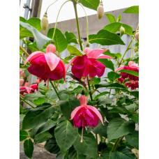Fuchsia Hardy Garden News