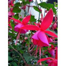 Fuchsia Hardy Beacon