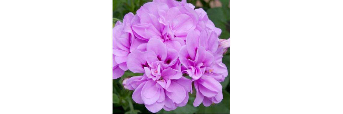 Ivy Geranium Bright Lilac